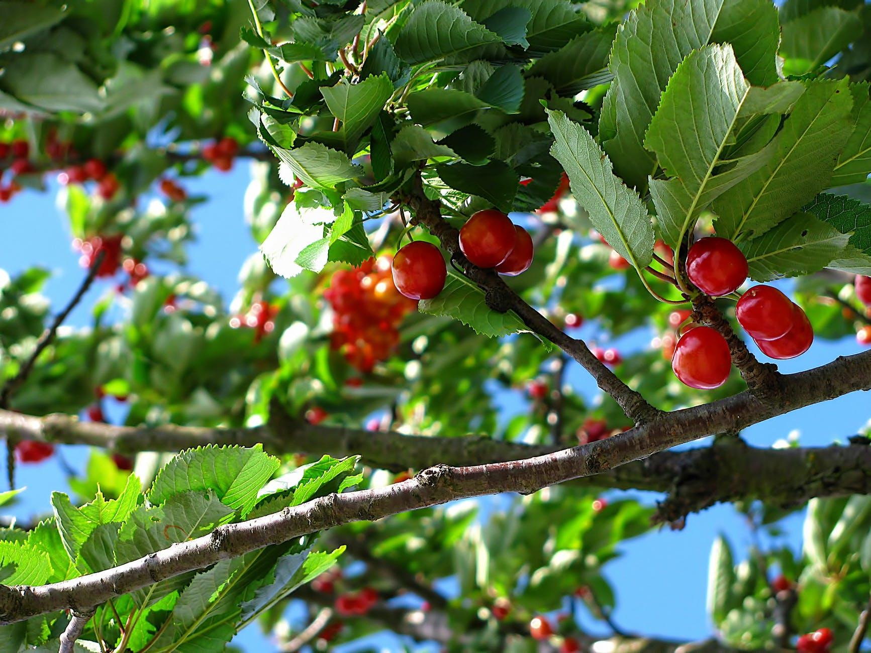 cherry-tree-fruit-nature-63312.jpeg